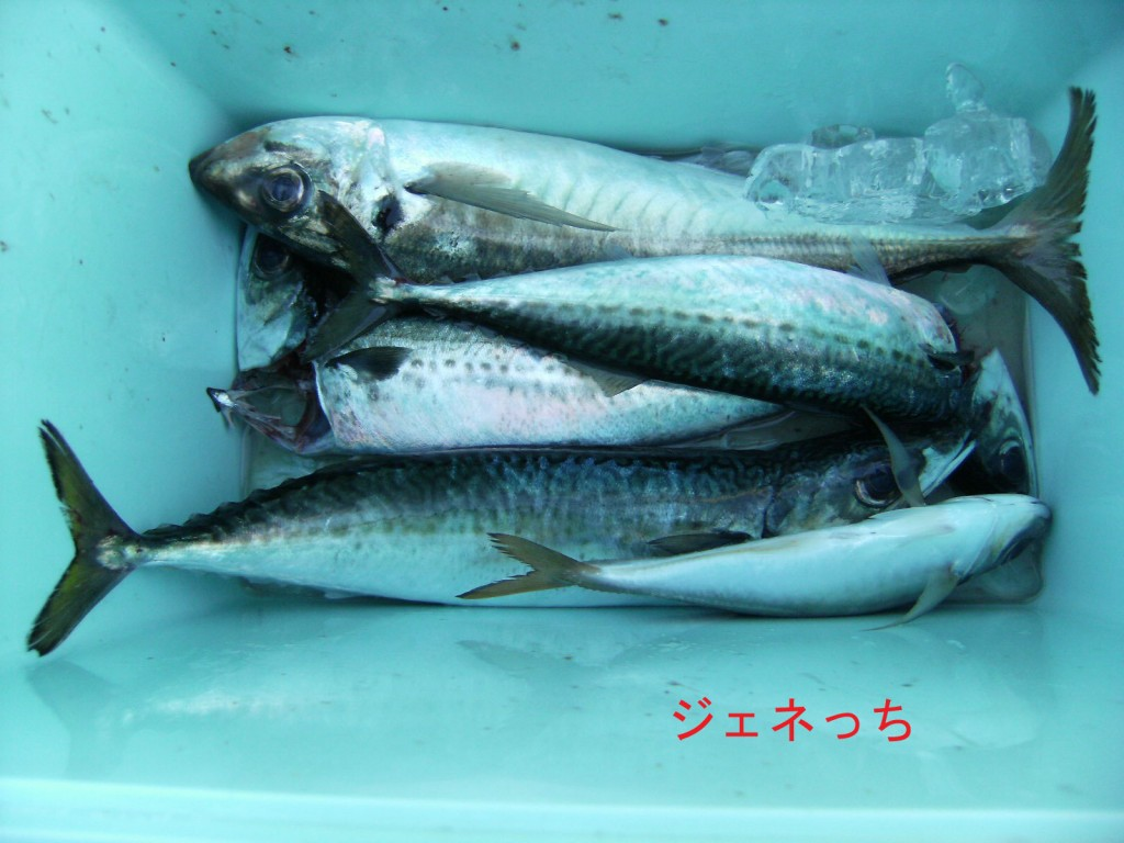 サバやアジが釣れました