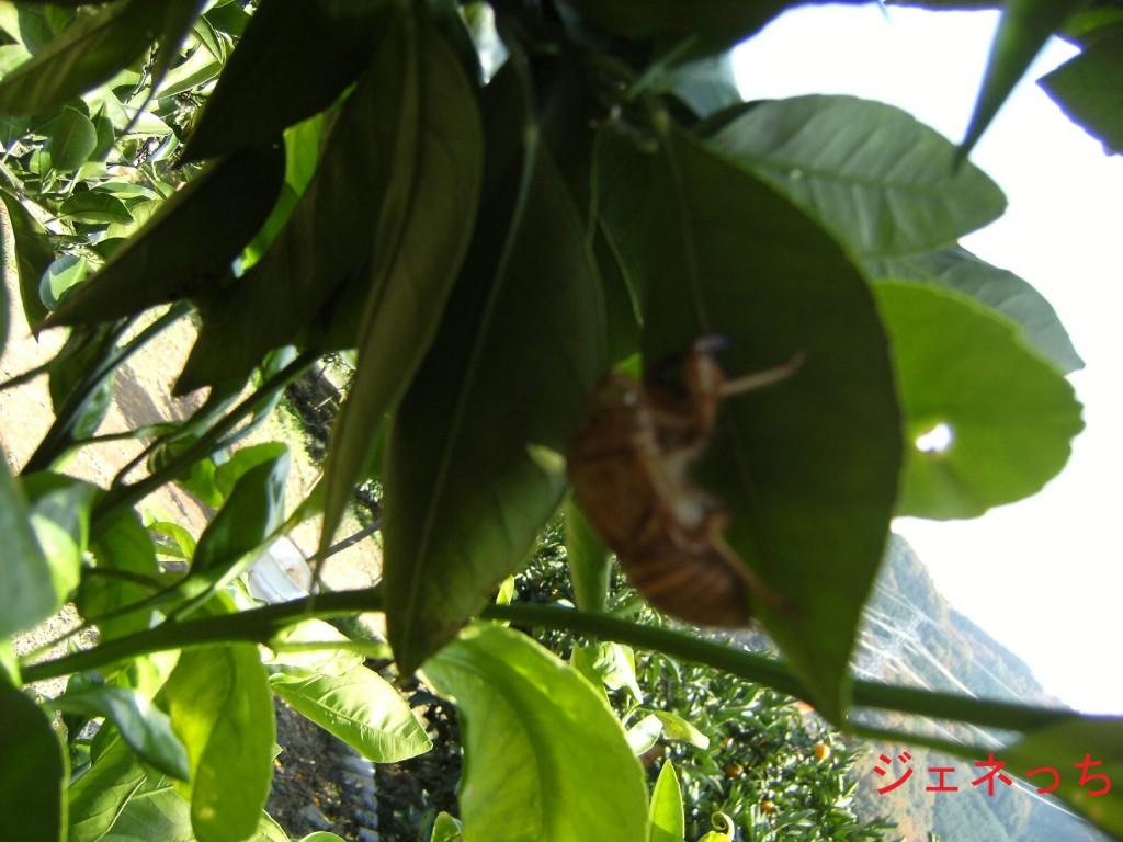 ミカンの葉にセミの抜け殻が